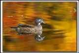 CANARD BRANCHU, femelle  /  WOOD DUCK, female    _MG_9983 a