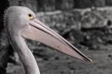 Adult Pelican 1.jpg