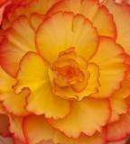 Colourful Begonias