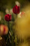 20130507 - Tulips
