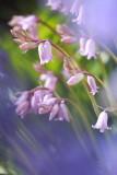 20130525 - Pinkbells through Bluebells