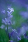 20130530 - More Bluebells