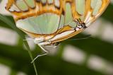 Butterfly - Vlinder - Papillion
