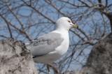 meeuwen - gulls - goélands