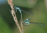 lantaarntjes-Bleu tailed  Damselfly