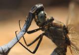 Libellen-Dragonflies