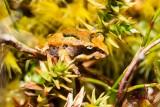 Moss Froglet