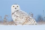 Snowy Owls & Ottawa wildlife