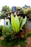 A large leaf plant on in front of a local home