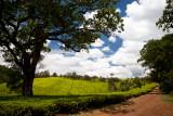 The tea fields around Kiambethu Farm