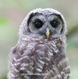 Juvenile Barred Owl (ol' blue eyes)