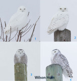 4 Snowy Owls in same area.