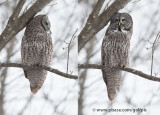 Oh what 2 crows flying by will do to a Great Gray Owl