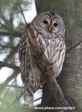 Barred Owl (male)