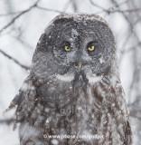 I am not a snowy owl despite appearances