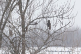 Two great gray owls