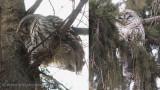 2 Barred Owls