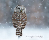 Barred Owl in falling snow