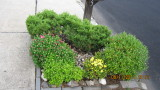 Plant arrangement by the mailbox Mums.JPG
