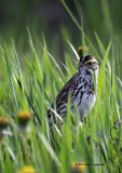 Savannah Sparrow IMG_5229.jpg
