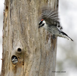 Downy Woodpeckers Nesting IMG_5764.jpg
