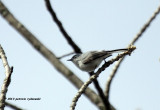 Blue-gray Gnatcatcher IMG_6672.jpg