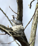 Blue-gray Gnatcatcher IMG_6738.jpg