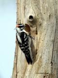 Downy Woodpecker IMG_6996.jpg