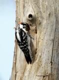 Downy Woodpecker IMG_6997.jpg