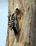 Downy Woodpecker IMG_7000.jpg