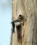 Downy Woodpecker IMG_7001.jpg