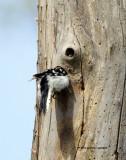 Downy Woodpecker IMG_7002.jpg