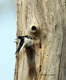 Downy Woodpecker IMG_7003.jpg