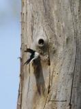Downy Woodpecker IMG_7004.jpg
