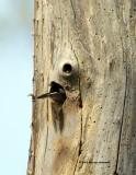 Downy Woodpecker IMG_7006.jpg