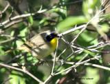 Common Yellowthroat IMG_8668.jpg