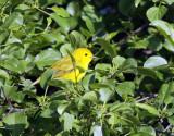 Yellow Warbler IMG_8252.jpg
