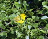 Yellow Warbler IMG_8253.jpg