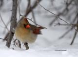 Cardinal female IMG_2287.jpg