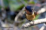 Barn Swallow IMG_2759.jpg