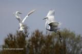 Egrets Dance IMG_3261.jpg