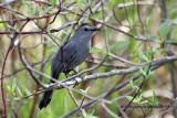 Gray Catbird IMG_3290.jpg