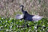 Great Blue Heron IMG_3174.jpg