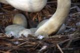Mute Swan Eggs 8 IMG_1747.jpg