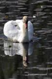 Mute Swan IMG_2541.jpg