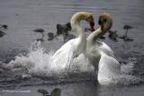 Mute Swan fight IMG_4075.jpg