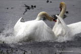 Mute Swans fight IMG_4067.jpg