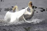 Mute Swans fight IMG_4071.jpg