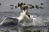 Mute Swans IMG_4082.jpg