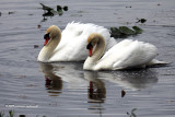 Mute Swans stand off IMG_4054.jpg